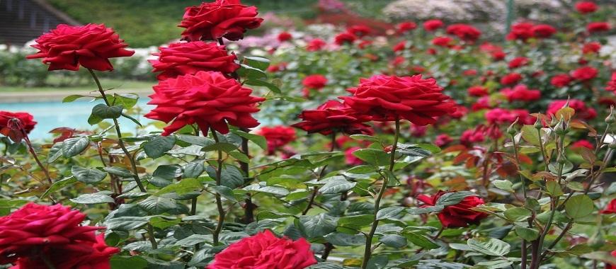 national-rose-garden-head-3382