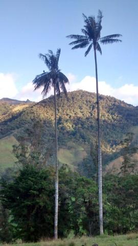 palmeraslargas1