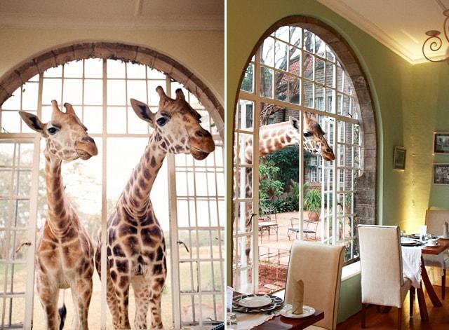 giraffe7-min