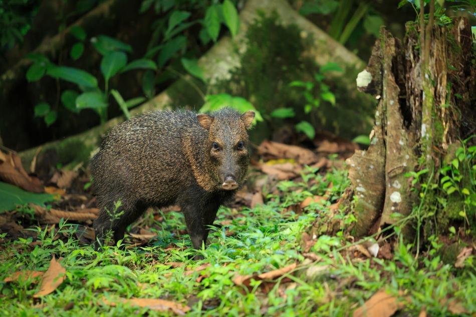 Saino en Costa Rica